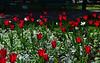 Tulips in the Garden of Poets