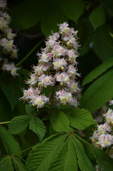 Chesnut blossom in le Jardin des Tuileries