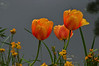 Orange tulips and other yellow flowers.