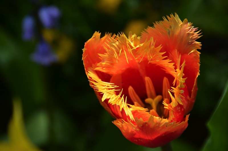Fuzzy orange tulip.