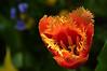 Fuzzy orange tulip.