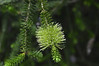At Jardin Exotique de Roscoff:  Green bottlebrush (Callistemon)
