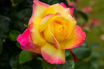 Rose @ Rodin