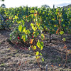 Vines in the afternoon sun