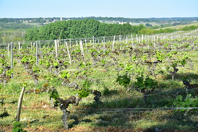 04242017_Chateau-d-Arche_Sauternes_Vineyard__750_2360