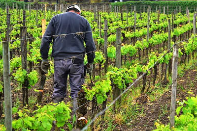 04252017_Saint-Emilion_Vineyard_Worker_750_2614