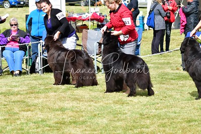 Newfoudland (All-breed show - Friday)