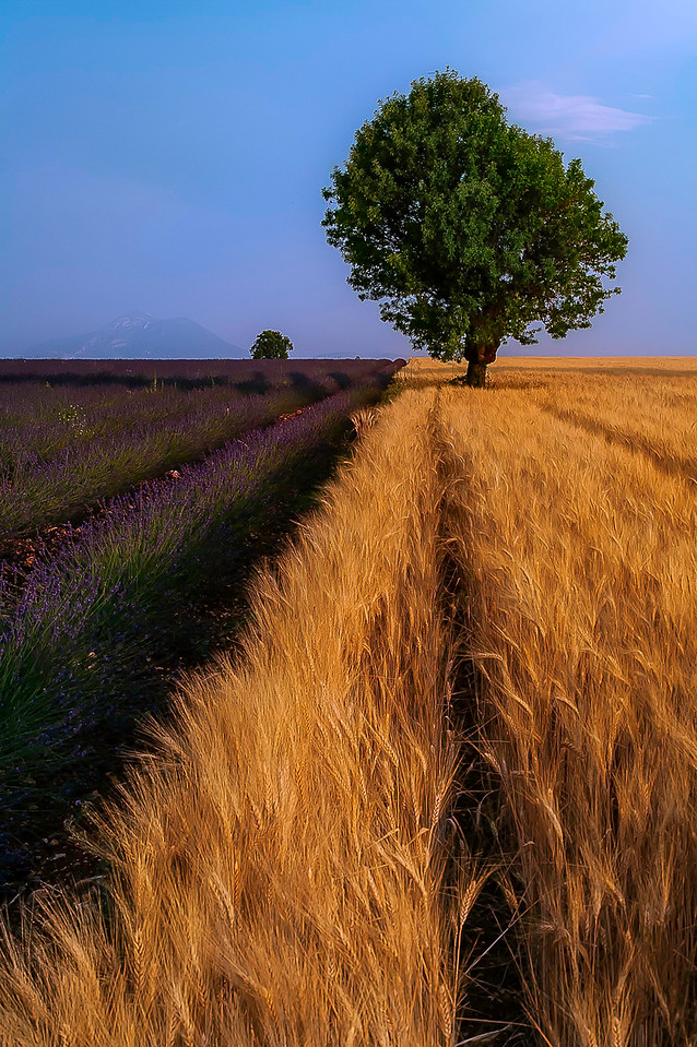 Lavender and wheat field; Provence; France