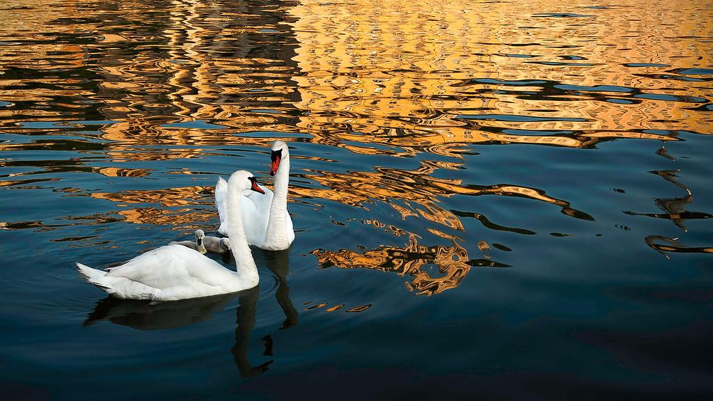 Swans; Lyon; France