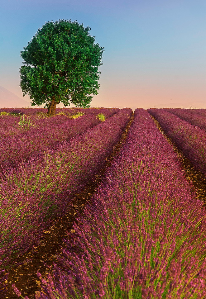 Lavender Field; Provence; France