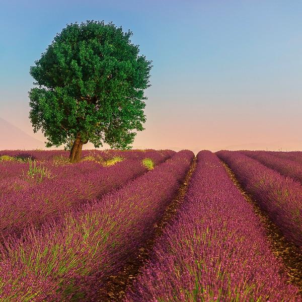 Lavender Field; Provence; France
