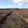 Lavender fields just outside of Roussillon