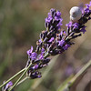 Who knew snails liked lavender ?