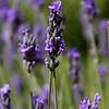 Lavender at Roussillon