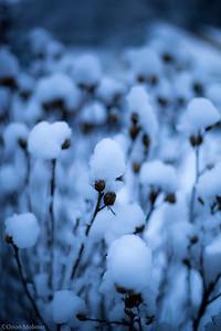 Coton en neige