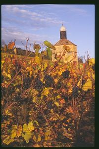 Autumn vineyard in Burgundy