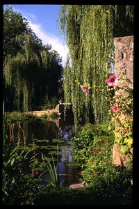 Semur-en-Axois - Weeping willow