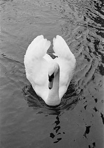 Chilly swan