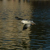 Gull in flight at Luxembourg Gardens