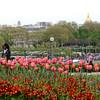 Tulips at Trocadero