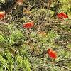Parc des Oiseaux - Ibis rouges (Venezuela)