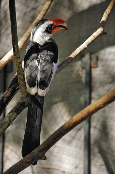 Parc des Oiseaux - Calao de Van Der Decken (Somalie, Ethiopie)