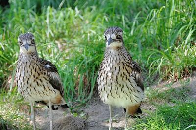 Parc des Oiseaux - Œdicnème bridé (Australie)
