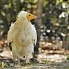 Parc des Oiseaux - Vautour percnoptère (Espagne, Afrique, Moyen-Orient, péninsule arabique)