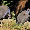 Parc des Oiseaux - Pintade vulturine (Somalie, Ethiopie, Kenya, Tanzanie)