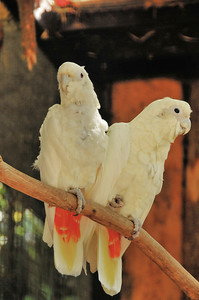 Parc des Oiseaux - Cacatoès des Philippines (Philippines)