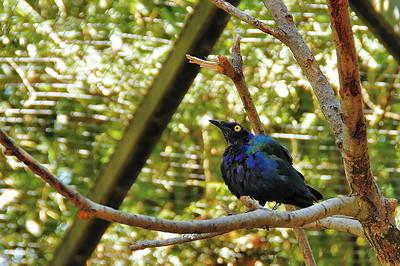 Parc des Oiseaux - Choucador pourpré (Afrique équatoriale)