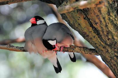 Parc des Oiseaux - Padda de Java (Indonésie)