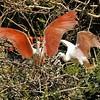 Parc des Oiseaux - Spatule rose (Amérique du Sud et centrale)