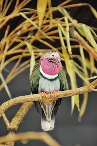 Parc des Oiseaux - Ptilope porphyre (Indonésie)