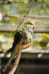 Parc des Oiseaux - Conure veuve (Argentine, Paraguay, Uruguay, Brésil)