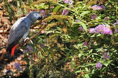 Parc des Oiseaux - Perroquet gris du Gabon (Afrique équatoriale)