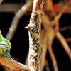 Parc des Oiseaux - Inséparable de Fischer (Kenya, Tanzanie)