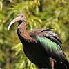 Parc des Oiseaux - Ibis de Ridgway (Pérou, Bolivie, Chili, Argentine)