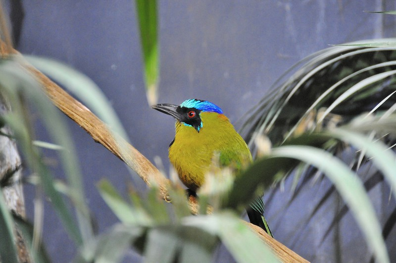 Parc des Oiseaux - Motmot Houtouc (Amérique centrale et du Sud)