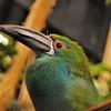 Parc des Oiseaux - Toucanet à cropion rouge (Equateur, Colombie, Venezuela)