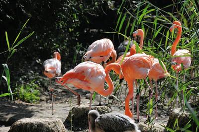 Parc des Oiseaux - Flamants de Cuba (Cuba)