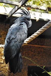 Parc des Oiseaux - Cacatoès noir (Australie, Indonésie, Nouvelle-Guinée)