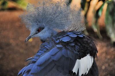 Parc des Oiseaux - Goura de Sheepmaker (Indonésie, Nouvelle-Guinée)