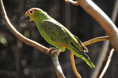 Parc des Oiseaux - Amazone lilacine (Equateur, Colombie) Parc des Oiseaux - Cacatoès des Philippines (Philippines)