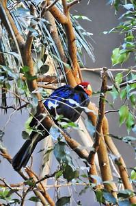 Parc des Oiseaux - Touraco violet (Afrique subsaharienne)
