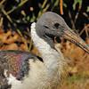 Parc des Oiseaux - Ibis d'Australie (Australie)