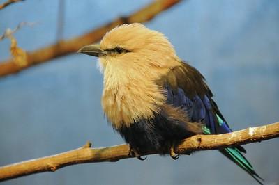 Parc des Oiseaux - Rollier à ventre bleu (Afrique équatoriale)