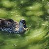 Parc des Oiseaux - Canard à bec tacheté (Inde, Extrême-Orient)