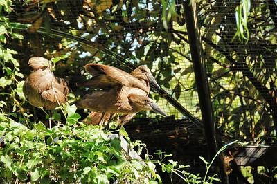 Parc des Oiseaux - Ombrette du Sénégal (Afrique subsaharienne, péninsule arabique)