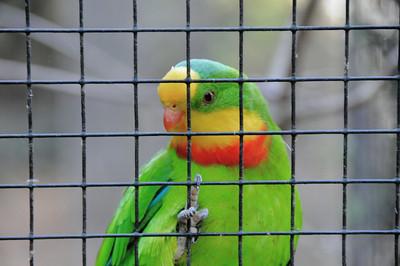 Parc des Oiseaux - Perruche de Barraband (Australie)
